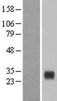 NBL1-09261 - CLEC4E Lysate