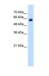 NBP1-59182 - CD299 / CLEC4M