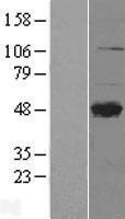NBL1-09262 - CLEC4M Lysate