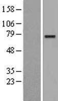 NBL1-09265 - CLGN Lysate