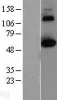 NBL1-09274 - CLK2 Lysate