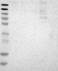 NBP1-94034 - Calmin