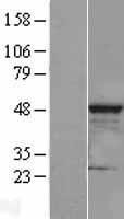 NBL1-09277 - CLP1 Lysate