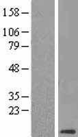 NBL1-09280 - CLPS Lysate