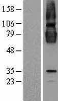 NBL1-09281 - CLPTM1 Lysate