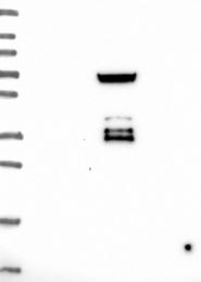 NBP1-89478 - CLPX