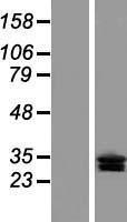 NBL1-09284 - CLRN3 Lysate