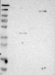 NBP1-85706 - Calsyntenin-1