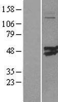 NBL1-09294 - CMAS Lysate