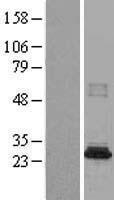 NBL1-13492 - CML2 Lysate