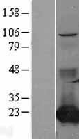 NBL1-09298 - CMP kinase Lysate