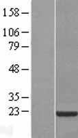NBL1-09306 - CNBP Lysate