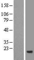NBL1-09312 - CNIH4 Lysate
