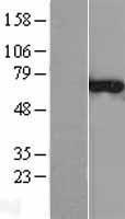 NBL1-09313 - CNKSR3 Lysate