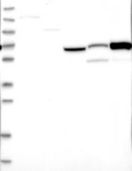 NBP1-89281 - Cyclin M1