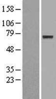 NBL1-10271 - CNOX Lysate
