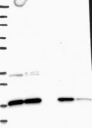 NBP1-81716 - TMEM4 / CNPY2