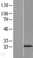 NBL1-09323 - CNPY2 Lysate