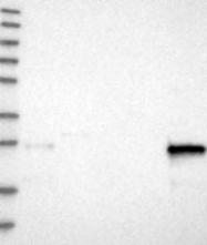 NBP1-81085 - CNPY4
