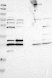 NBP1-81086 - CNPY4