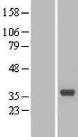 NBL1-09325 - CNPY4 Lysate