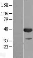 NBL1-09322 - CNPase Lysate