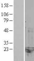 NBL1-09329 - CNRIP1 Lysate