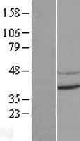 NBL1-09330 - CNTD Lysate
