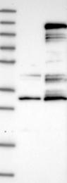 NBP1-82834 - Centrobin