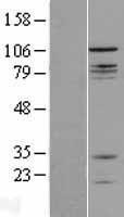 NBL1-09339 - CNTROB Lysate