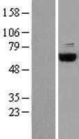 NBL1-09340 - COASY Lysate