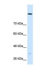 NBP1-70504 - Cordon-bleu protein-like 1