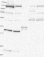 NBP1-81414 - COG1