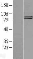 NBL1-09344 - COG2 Lysate