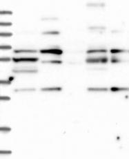 NBP1-84410 - COG6