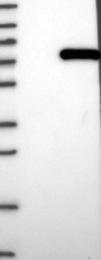 NBP1-84411 - COG6