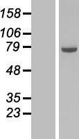 NBL1-09345 - COG6 Lysate
