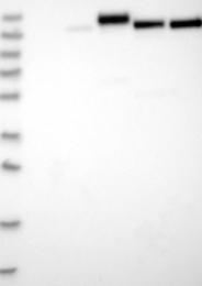 NBP1-85836 - Collagen type IV alpha 3 chain