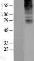 NBL1-09359 - COL8A2 Lysate