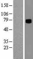 NBL1-09360 - COL9A3 Lysate