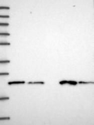 NBP1-91802 - COMMD2