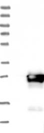 NBP1-82027 - COMMD9