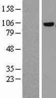 NBL1-09379 - COPG Lysate