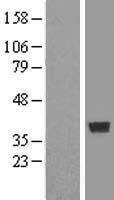 NBL1-09384 - COPS6 Lysate
