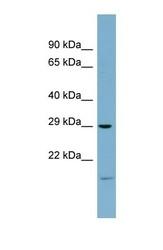 NBP1-53118 - COPS7A