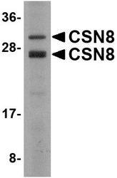 NBP1-76373 - COPS8