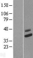 NBL1-09393 - COQ9 Lysate