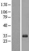 NBL1-09494 - CRX Lysate