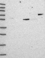 NBP1-81583 - Coronin-2A
