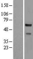 NBL1-09399 - CORO2A Lysate